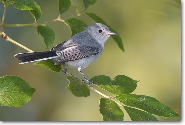 <!-- CRW_3233.jpg -->Blue-gray Gnatcatcher