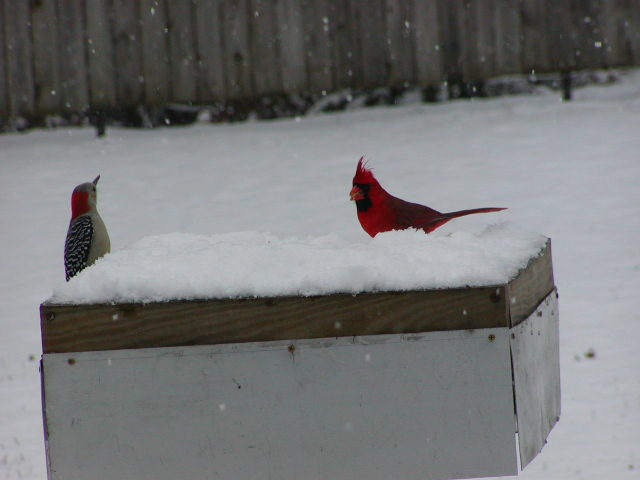 Northern Cardinal & Red-bellied Woodpecker