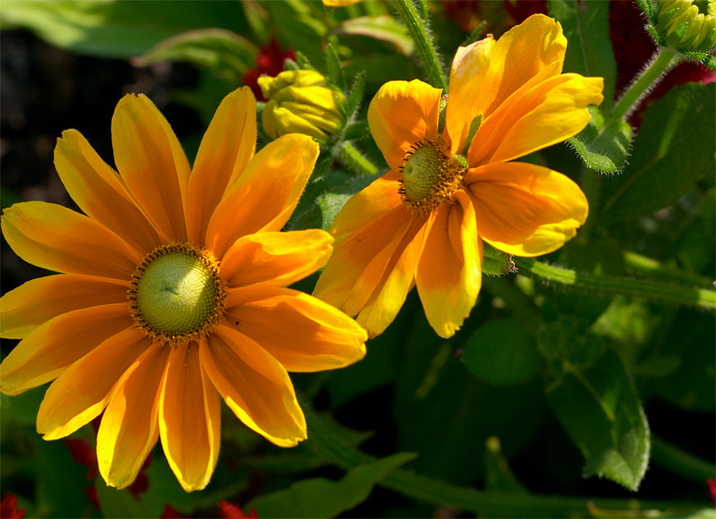 two irish eyes rudbeckia