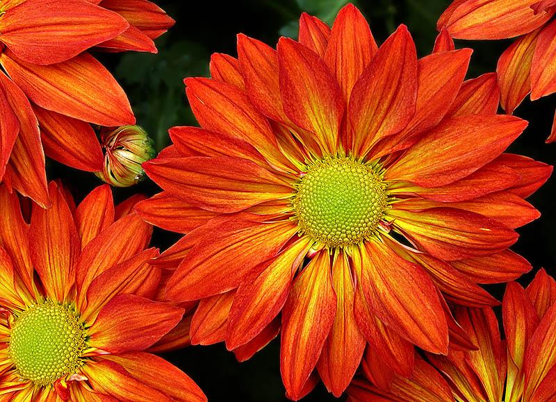 Crysanthemums.jpg