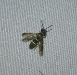Wevil Wasp