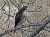 red tail perched - Merri