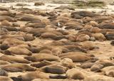 ano_neuvos-_elephant_seals