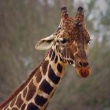 Giraffe Head 3568