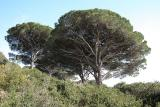 Pines at the Cote d'Azur
