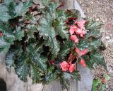 Begonia Jackie Brookshire