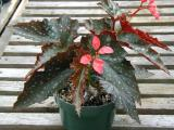 Begonia Pledging My Love