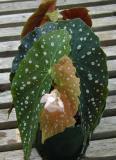 Begonia Sassy's Mate