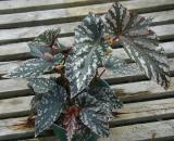Begonia Astro's Pride