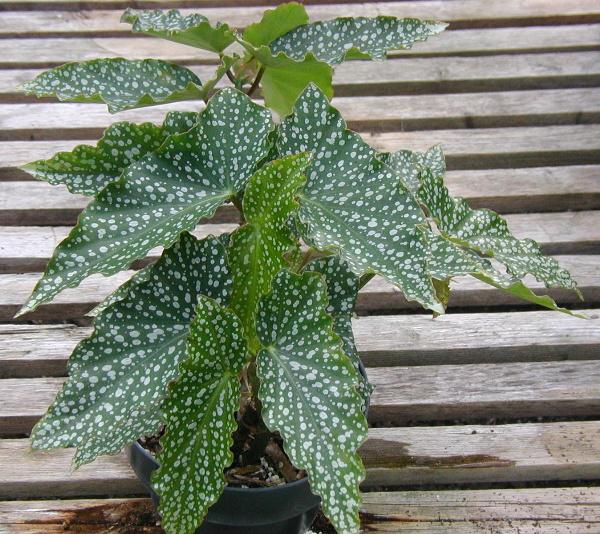 Begonia Splish Splash