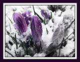 Purple croci in the snow