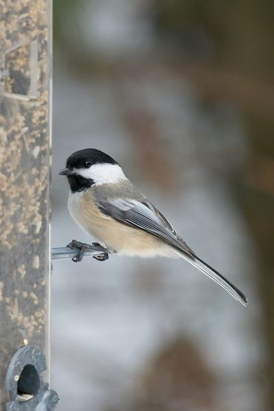 Chickadee Feeder 3