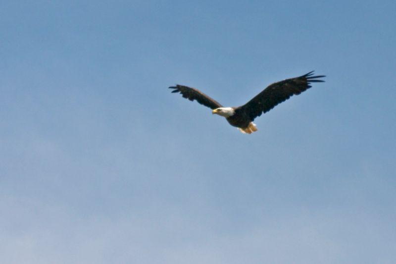 {Q-E}T3826 Eagle at Chippewa Park Lake.jpg