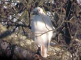 Partial  Albinism - Red-tailed Hawk