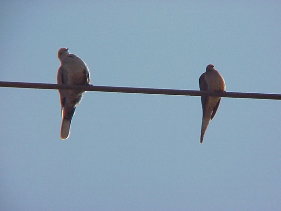 Eurasian Collared-Dove and Morning Dove