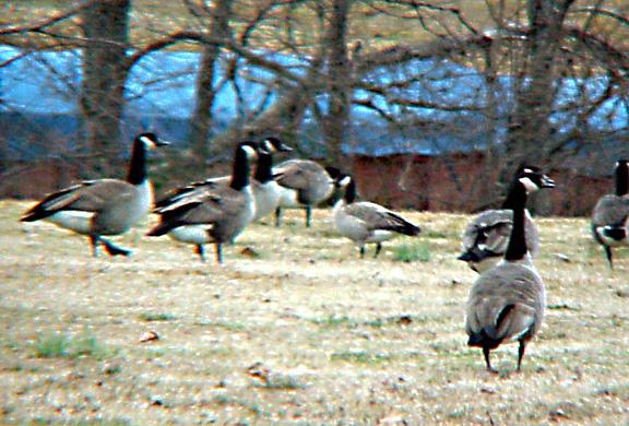 Richardsons Goose