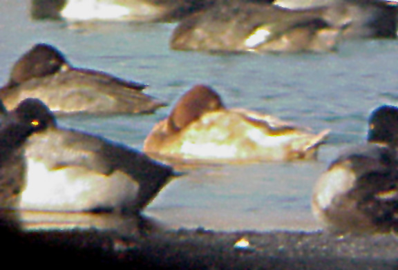 Leucistic - Lesser Scaup, female - 2-3-04