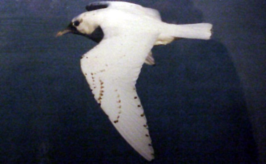 Ivory Gull - TN - Feb. 10-21, 1996
