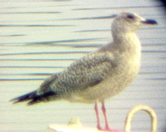 Thayers Gull - 2-14-04 - pale