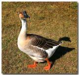 12 14 03 Goose, canon 300D.jpg