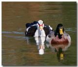 12 14 03 Two Ducks, Canon 300D.jpg