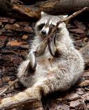 03 08 03 Racoon,  Ellen Trout Zoo, sony717.jpg