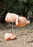 03 08 08 Flamingos, Ellen Trout Zoo, sony717.jpg