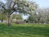 hoogstamfruitbomen in het voorjaar 2003