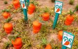 Lots of Carrots