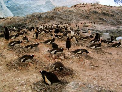 Gentoo Penguin Rookery, Paradise Harbor, Antarctica, 2004