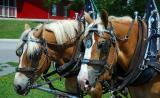 Harnessed Horses.jpg