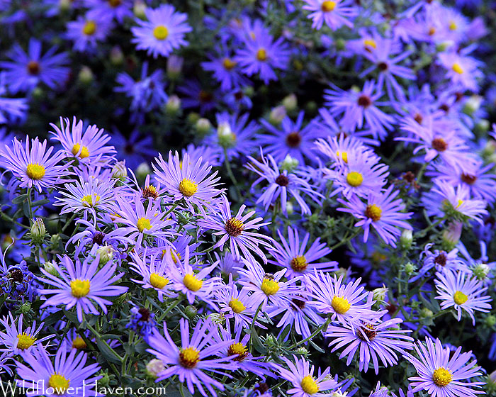 Fall Aster (Aromatic Aster)