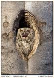 Petit duc maculé / Eastern Screech-Owl