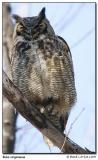Grand duc d'Amérique / Great Horned-Owl
