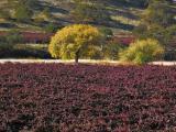 Vineyard and fall trees 3