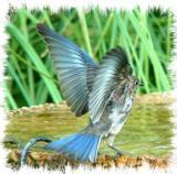august_bluebirds
