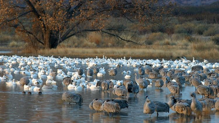 Sandhill Crane and Snow Geese