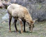 Big Horn Sheep - Ovis canadensis