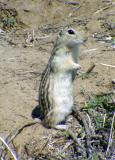 Thirteen-lined Ground Squirrel - Spermophilus tridecemlineatus
