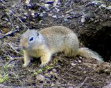 Wyoming Ground Squirrel - Spermophilus elegans