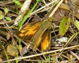 Indian Skipper - Hesperia sassacus