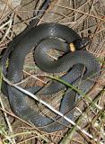 Northern Ring-necked Snake - Diadophis punctatus edwardsi