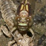 Riverine Clubtail - Stylurus amnicola (eclosing)
