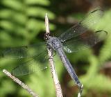 Slaty Skimmer - Libellula incesta (old female)