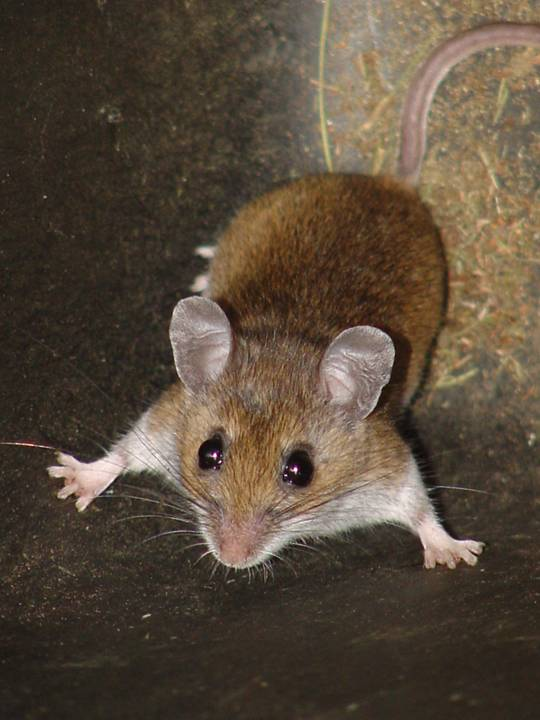 White-footed Mouse - Peromyscus leucopus