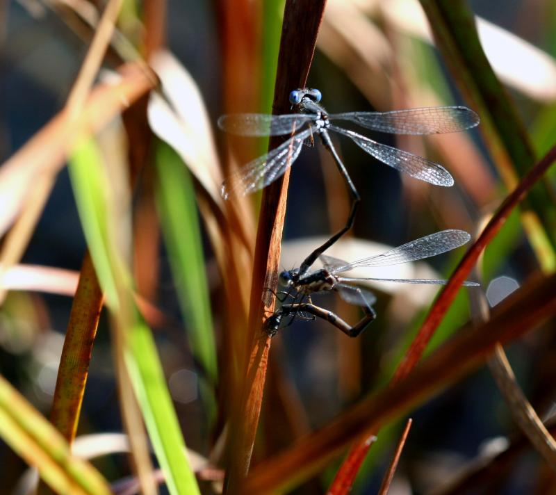Mating Spreadwings on Cattail