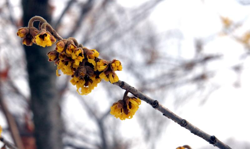 Witchhazel blooms