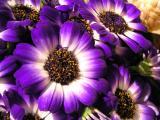 Purple 687