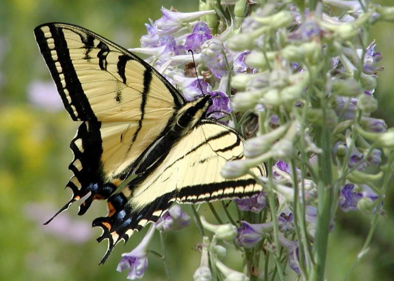 Tiger Swallowtail Butterfly, Pocatello, Idaho