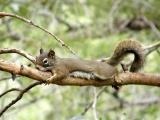Red Squirrel Baby, Pocatello, Idaho
